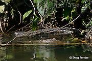 Morelet's crocodile, Belize crocodile, or Central American crocodile, Crocodylus moreletii, Cabbage Hole Creek, Stann Creek District, Belize, Central America