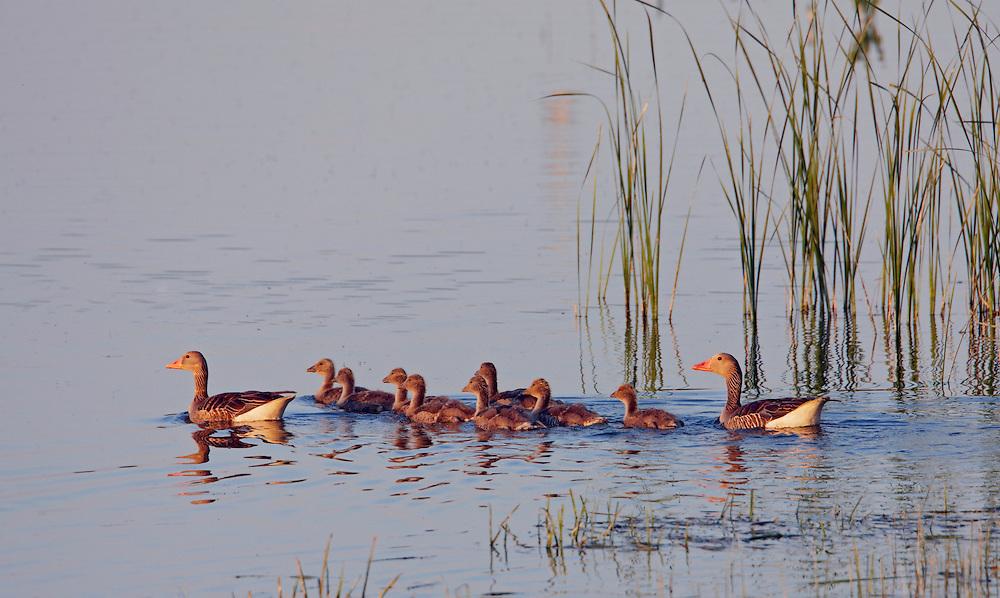 Greylag Goose (Anser anser) Pusztaszer Nature Reserve, Hungary