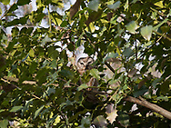 Saw-Whet Owl (Aegolius acadicus) in the Ramble of Central Park