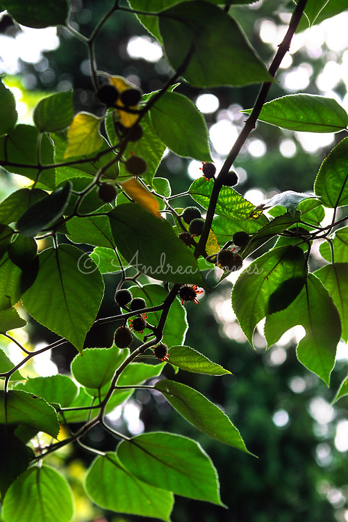 Morus nigra (Black mulberry) branch with fruit