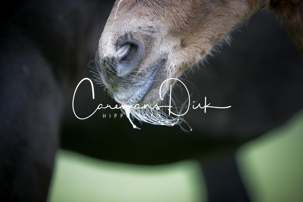 Veulen Landmaedel<br /> Paarden op de weide Kieldrecht 2006<br /> Photo © Dirk Caremans