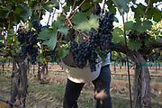 Walla Walla Vitners harvest, Walla Walla, Washington