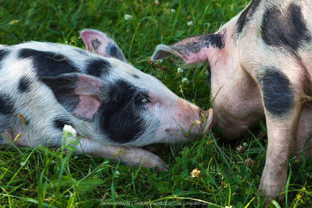 A Tamworth and Berkshire heritage cross-breed piglet sniffs the snout of another while  enjoying sun, grass and freedom in a farm field.  Pigs from this cross come out in a variety markings-- plain or spotted--and in colour combinations of black, white, and red.