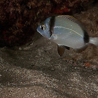Diplodus vulgaris - common two banded seabream