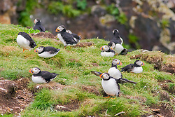 bird, Atlantic Puffins Fratercula arctica on nesting grounds, Newfoundland, Canada