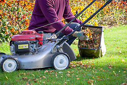 Using a mower to gather and shred fallen leaves ready for putting on the compost heap.
