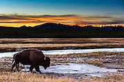 A bison makes its way back to the heard after sunset at Yellowstone National Park.