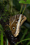 The Caligo (Owl) Butterfly, Caligo atreus, uses eyespots to confuse predators