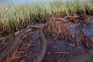 Oil and oily boom on the surface of Barataria Bay and in the marshand