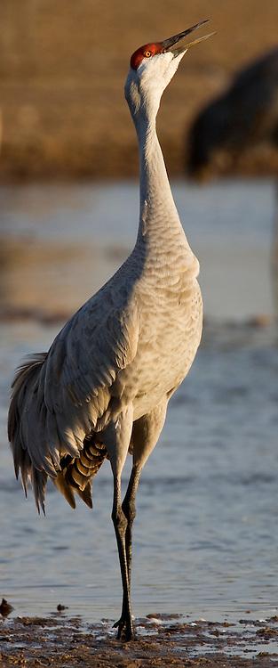 PlatteRiver2008.13-Sandhill Cranes make their annual stopover along the Platte River in central Nebraska during the spring migration.