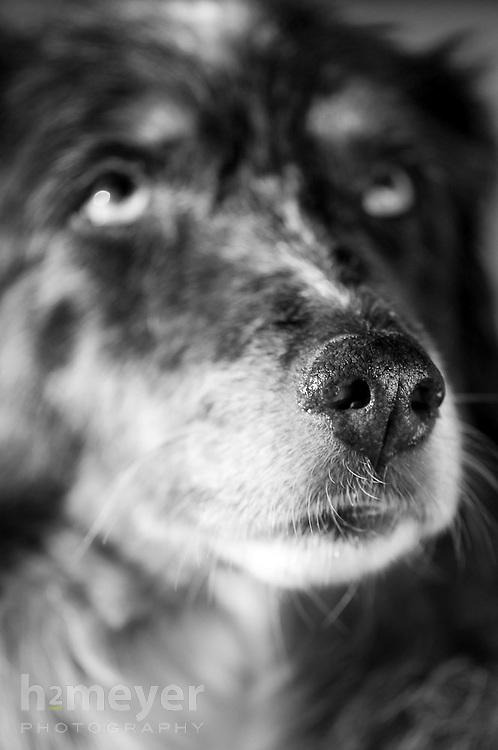 Austrailian Shepherd.  Owners Nancy & Bob Kroll , Pet Portrait Photography