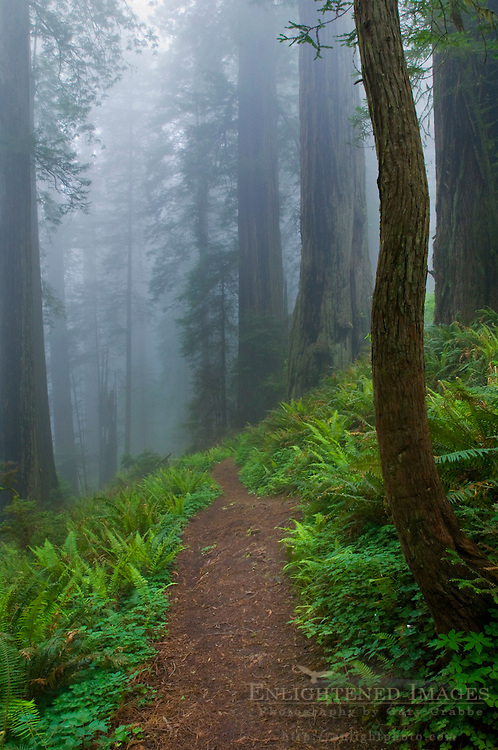 Trail through fog shrouded redwood trees in forest, Del Norte Coast Redwood State Park, California