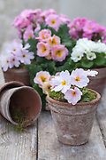 Arrangement with pastel coloured primulas in small antique terracotta pots