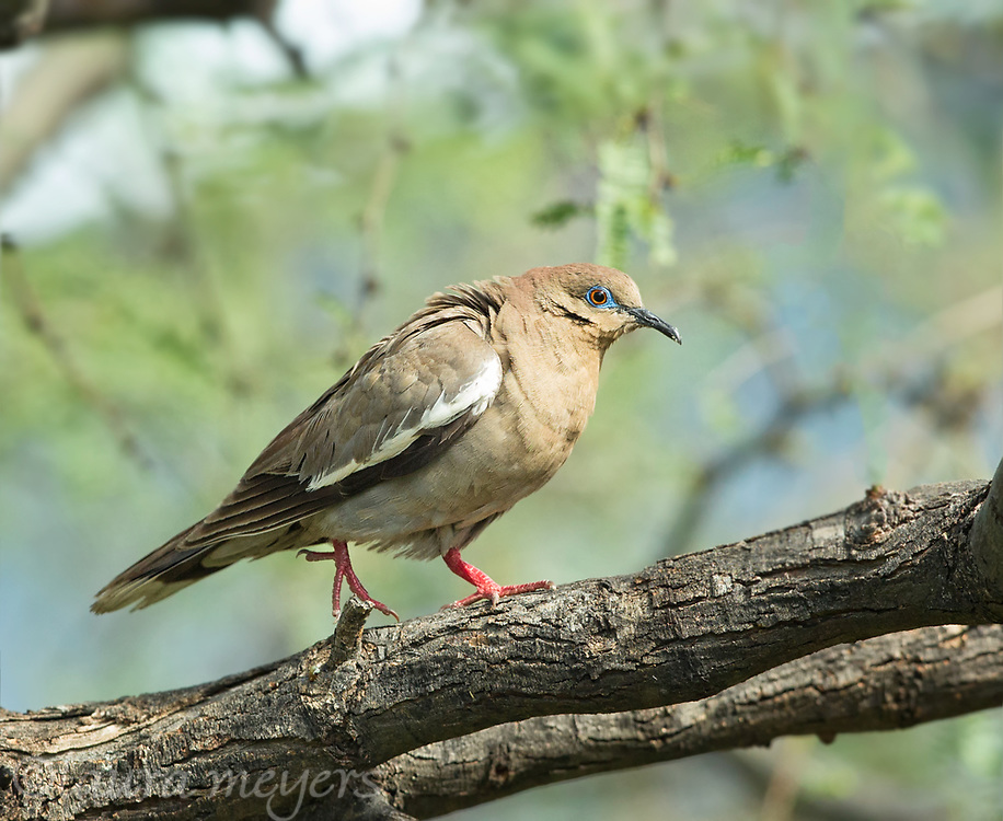 White-winged Dove on Tree photographed in Tubac, Arizona