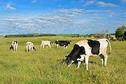 Dairy cows in pasture<br /> Holland<br /> Manitoba<br /> Canada