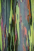 The rainbow eucalyptus (Eucalyptus deglupta) is the only Eucalyptus species found naturally in the Northern Hemisphere.