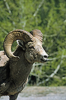 Bighorn Sheep (Ovis canadensis), Banff National Park, Alberta, Canada   Photo: Peter Llewellyn