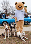 March 31, 2013 - Garden City, New York, U.S. - The Husky Brothers, Frankie, Cain and Tsar, are having their picture taken with Kingsley, the Kings supermarket mascot, at the 58th Annual Easter Sunday Vintage Car Parade and Show sponsored by the Garden City Chamber of Commerce. Hundreds of authentic old motorcars, 1898-1988, including antiques, classic, and special interest participated in the parade.
