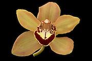 Orange Cymbidium Orchid bloom isolated on a black background.