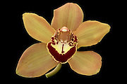 Orange Cymbidium Orchid bloom isolated on a black background.