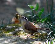 Image of a Carolina wren