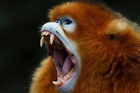 A Portrait of a Sichuan Golden Snub-nosed Monkey, Rhinopithecus roxellana, is showing his teeth while screaming at the Yangxian Nature Reserve, Shaanxi, China