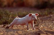 DEU, Deutschland: Hausschwein (Sus Scrofa f. domestica), Ferkel streckt sich, Seedorf, Schleswig-Holstein | DEU, Germany: Domestic pig (Sus scrofa f. domestica), piglet stretching, Seedorf, Schleswig-Holstein |