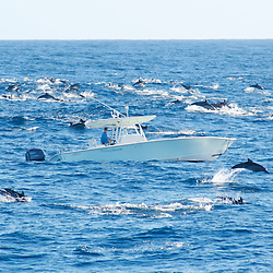 A large pod of pacific dolphins play with a 31 foot speed boat.