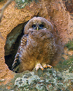 Mexican spotted owl (Strix occidentalis lucida) downy young roosting in a pothole in tuff, Jemez Mountains, NM, © 1998 David A. Ponton [Note: This is a carefully finished image of higher quality than the copy spread around the world by photo stock agencies who don't share the royalties with me, the photographer. Buy the best RF from me at a good price, or have a quality print or other product made for you! Thanks!)