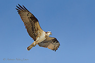 Osprey / Aguila Pescadora
