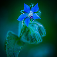 Borage Flowers.  <br />