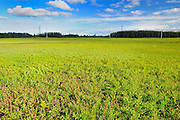 Field of Blueberries (cultivated)<br /> Dolbeau-Mistassini<br /> Quebec<br /> Canada