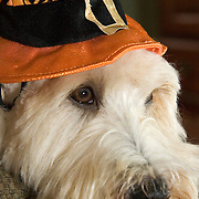 Soft Coated Wheaten Terrier, dog, in Halloween Witch hat