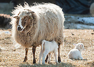 A newborn lamb suckles from a sheep on a cold winter afternoon at Banbury Cross Farm in Goshen, New York.