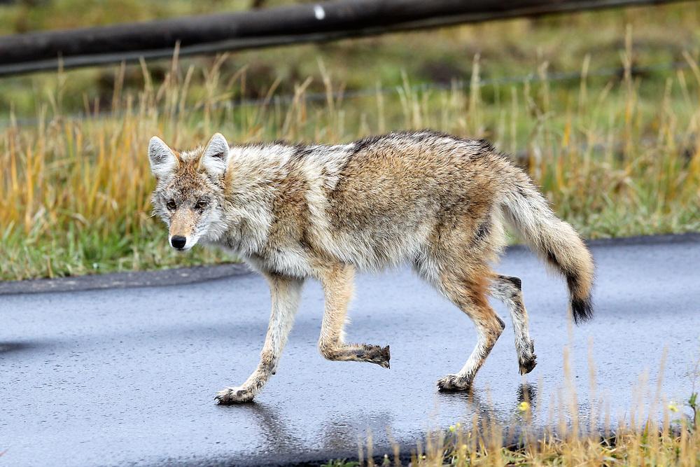 A coyote outside of Grand Teton National Park