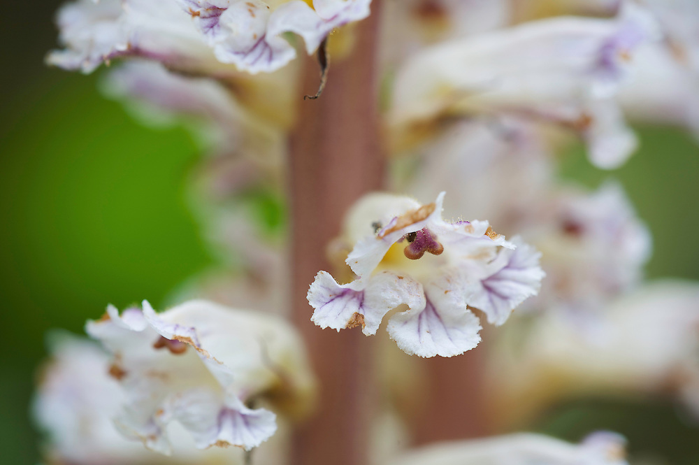 Flowers of Orobanche spec., San Marino.