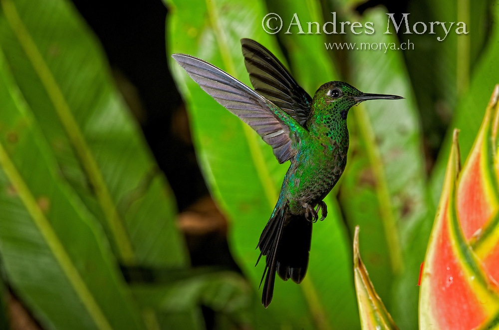 Green violet-ear hummingbird (Colibri thalassinus). Green Violet-ear (Colibri thalassinus) hummingbirds are common to locally abundant residents in the middle and higher elevation mountains of Costa Rica, mainly in the more open areas of the forest where there are plenty of flowering plants. Image by Andres Morya
