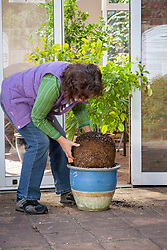 Checking the rootball of a citrus plant for pests before bringing indoors