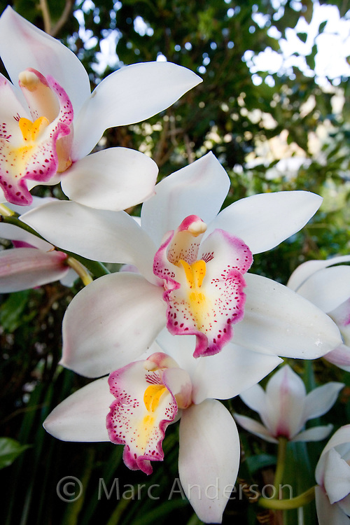 Pink, yellow and white Cymbidium orchids, Thailand