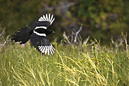 This picture shows a Magpie in flight over a green grassy area. this pretty bird was taken on Green Mountain.<br />