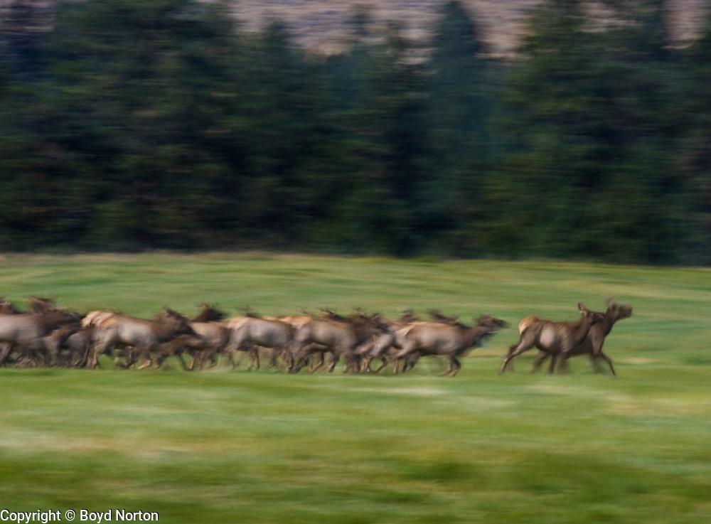 Elk herd running, Montana