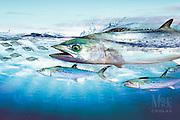 The Pursuit Series™ by Mick Coulas captures several species of game fish pursuing bait, available for license to be reproduced on clothing, prints and gifts that every fisherman will enjoy. This design features  Mackerel pursuing Threadfin.  Copyright Watermark does not show up on Print. © Registered Call for Information.