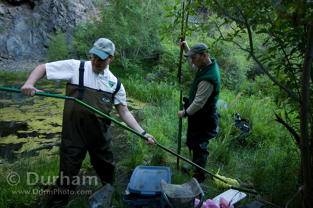 Bureau Of Land Management biologist Jason Lowe (left) assembles aluminium poles while Forest Service biologist Kurt Aluzas assists. They are setting up mist nets across a pond to catch bats, once evening falls, during a bat survey in The Nature Conservancy's Dutch Henry Falls preserve in Central Washington.