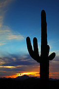 Large Cactus in the Sonoran Desert of Organ Pipe National Park in Arizona