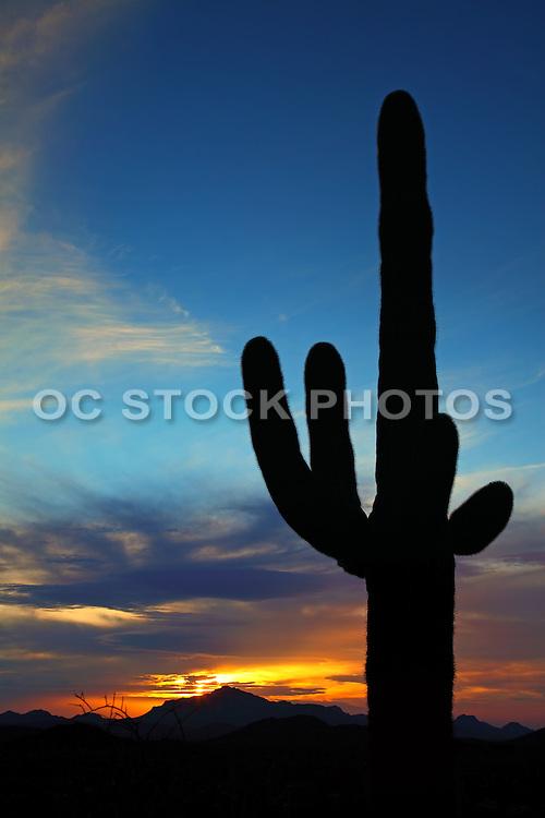 Large Cactus in the Sonoran Desert of Organ Pipe National Park in Arizona