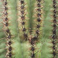 Saguaro National Park, Tucson. Saguaro cactus thorn patterns