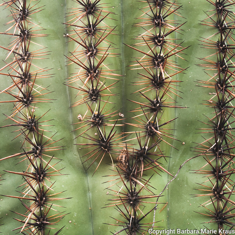 Saguaro National Park, Tucson. Saguaro cactus thorn patterns