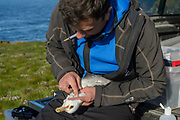 Yann Kolbeinsson and Chanee Thianthong, <br /> take a blood sample from a (Fulmarus glacialis) captured to replace its geolocator.<br /> Staff from N&aacute;tt&uacute;rustofa Nor&eth;austurlands (Northeast Iceland Nature Research Centre) catch seabirds at Skoruv&iacute;kurbjarg bird cliffs on Langanes Peninsula, Iceland to fit and replace geolocators to monitor the bird's movements.