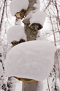 Bracket fungi on birch trees collect snow during a winter storm near Big Bay Michigan.