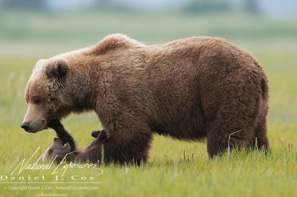 Alaskan Brown Bear mother and cub. Alaska